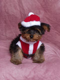 A Puppy Dressed in a Santa Suit Stock Images