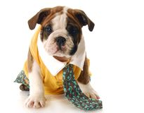 Puppy dressed up with shirt and tie Stock Photo