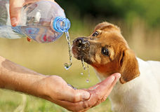 A puppy drinking water from a bottle Stock Photography