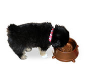 Puppy drinks water Royalty Free Stock Image