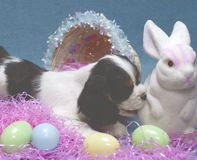 Puppy with easter bunny. 9 week old cocker spaniel puppy biting the bottom end of the easter bunny Royalty Free Stock Photo