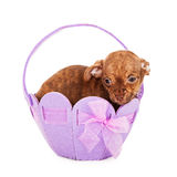 Puppy in an easter Easter basket Royalty Free Stock Photography