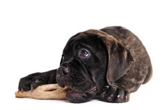 Puppy eating bone Royalty Free Stock Photos