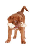 Puppy eating a bone Stock Image