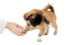 Puppy eating bone Royalty Free Stock Photo