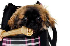 Puppy eating bone Royalty Free Stock Photos