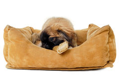 Puppy eating bone in dog bed Royalty Free Stock Photography