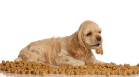 Puppy eating dog food royalty free stock photo