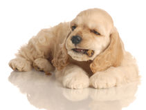 Puppy eating dog food Stock Image