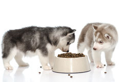 Puppy eating food Royalty Free Stock Photos
