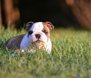 Puppy eating grass. English bulldog puppy laying down eating the grass Royalty Free Stock Images