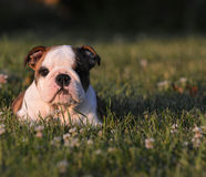 Puppy eating grass stock photo