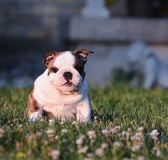 Puppy eating grass Royalty Free Stock Photo