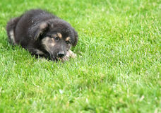 Puppy eating on the lawn Royalty Free Stock Photography