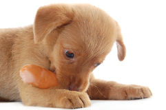 Puppy eating a sausage Stock Images