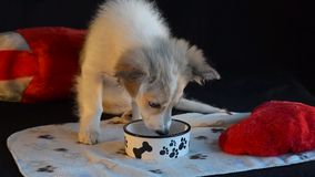 The puppy eats the treats out of the bowl. Black background and heart pillow. stock footage