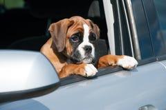 Puppy in een auto Stock Afbeelding