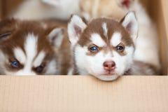Puppy in een doos Stock Foto's