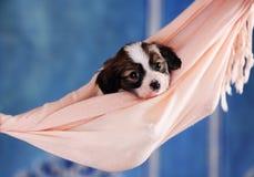 Puppy in een hangmat royalty-vrije stock foto's