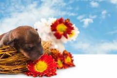 Puppy in een nest Royalty-vrije Stock Afbeeldingen