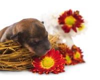 Puppy in een nest Stock Foto's