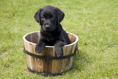 Puppy in een Vat Stock Fotografie