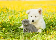 Puppy embracing kitten on a dandelion field stock images