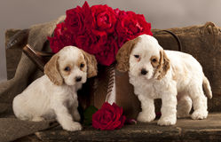Puppy en bloem van de cocker-spaniël namen toe Royalty-vrije Stock Afbeeldingen