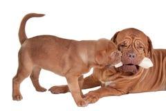 Puppy en mamma die een been eten Royalty-vrije Stock Afbeeldingen
