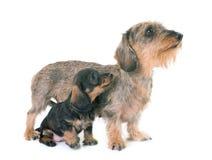 Puppy en moeder Wire-haired Tekkel stock afbeelding