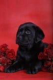 Puppy en rozen Royalty-vrije Stock Afbeelding