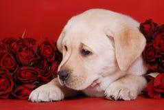 Puppy en rozen Royalty-vrije Stock Afbeeldingen