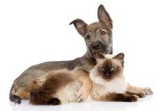 Puppy en siamese kat samen Op witte achtergrond Royalty-vrije Stock Afbeeldingen