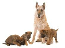 Puppy en volwassen Belgische laekenois van de herdershond stock afbeeldingen