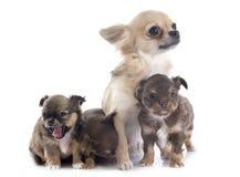 Puppy en volwassen chihuahua royalty-vrije stock afbeelding