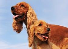 Puppy en volwassen cocker royalty-vrije stock foto