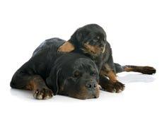 Puppy en volwassen rottweiler Royalty-vrije Stock Afbeeldingen