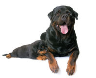 Puppy en volwassen rottweiler Stock Fotografie