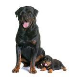 Puppy en volwassen rottweiler Royalty-vrije Stock Fotografie