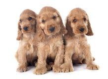 Puppy Engelse cocker stock foto's