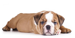 Puppy english Bulldog Royalty Free Stock Photography