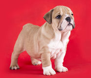 Puppy english Bulldog Royalty Free Stock Images
