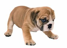 Puppy of the English bulldog. On a white background Royalty Free Stock Photo