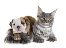 Puppy english bulldog and cat stock images