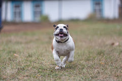 Puppy English bulldog running Royalty Free Stock Photography