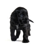 Puppy english cocker Royalty Free Stock Photography