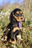 Puppy english cocker Royalty Free Stock Image