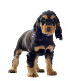 Puppy english cocker Royalty Free Stock Images