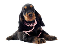 Puppy english cocker Stock Image