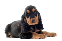 Puppy english cocker Stock Images